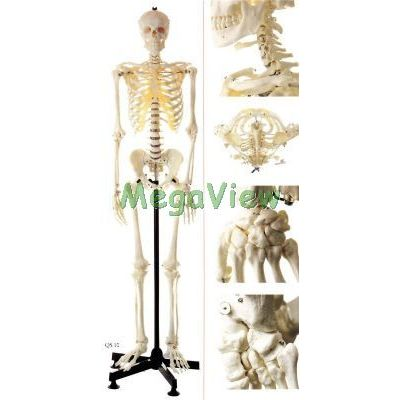 SOMSO人體骨骼模型